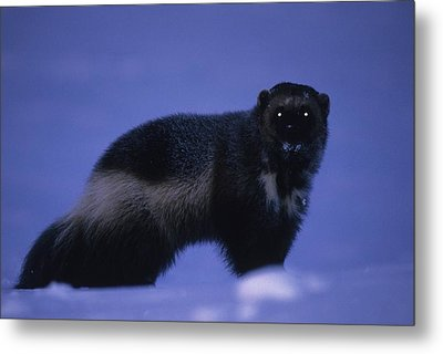 A Portrait Of A Wolverine In The Arctic Metal Print by Paul Nicklen