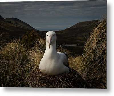A Royal In Waiting Metal Print by Doug Gimesy