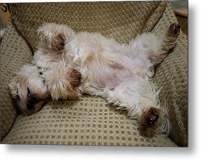 A Sleeping Maltese Dog Lies In Awkward Metal Print by Stephen St. John