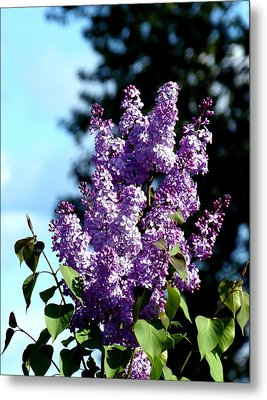 A Stunning Lilac Cluster Metal Print by Will Borden