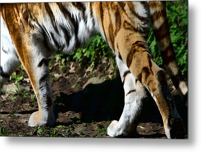 A Tigers Stride Metal Print by Karol Livote