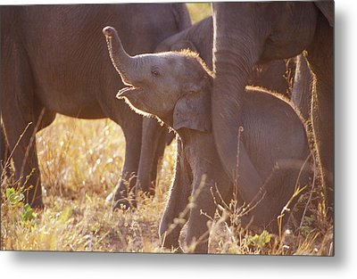 A Tiny Endangered Asian Elephant Calf Metal Print by Jason Edwards