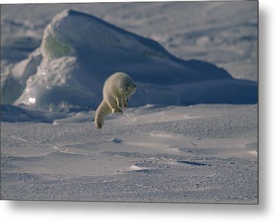 A White Arctic Fox, Alopex Lagopus Metal Print by Norbert Rosing