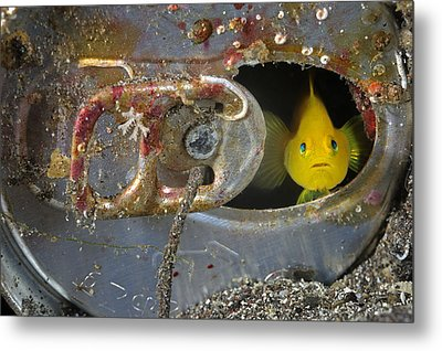 A Yellow Goby Peers Through The Window Metal Print by Brian J. Skerry