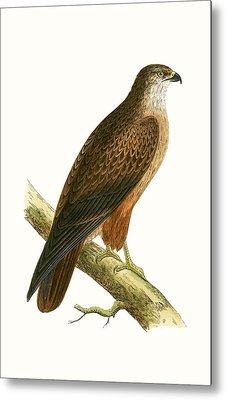 African Buzzard Metal Print by English School
