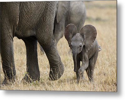 African Elephant Mother And Under 3 Metal Print by Suzi Eszterhas