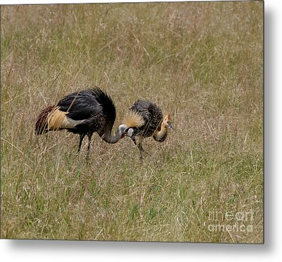African Grey Crowned  Crane With Chick Metal Print by Joseph G Holland