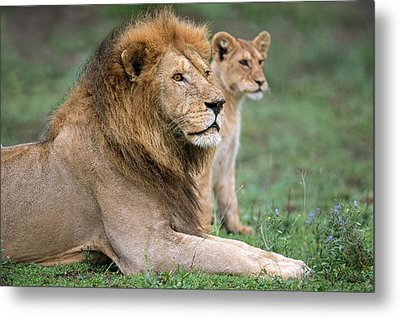 African Lion Panthera Leo With Its Cub Metal Print by Panoramic Images