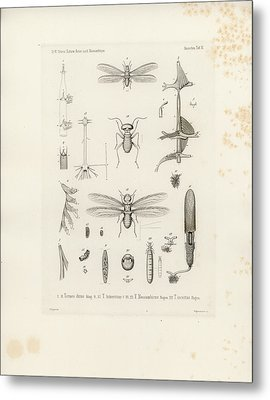 African Termites And Their Anatomy Metal Print by W Wagenschieber