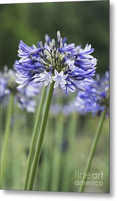 Agapanthus Multicolour Metal Print by Tim Gainey