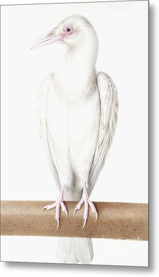 Albino Crow Metal Print by Nicolas Robert