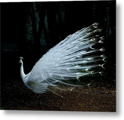 Albino Peacock Metal Print by Yvonne Ayoub