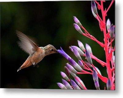 Allen's Hummingbird At Breakfast Metal Print by Mike Herdering