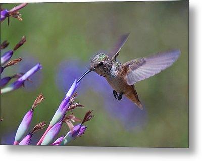 Allen's Hummingbird Metal Print by Mike Herdering