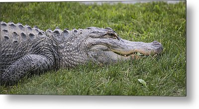 Alligator Metal Print by Michel DesRoches
