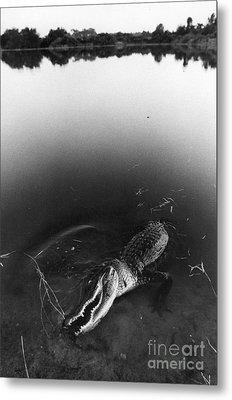 Alligator1 Metal Print by Jim Wright