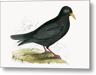 Alpine Chough Metal Print by English School
