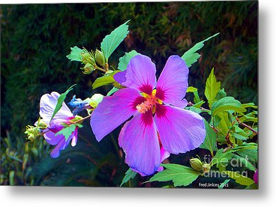 Althea Blossom Metal Print by Fred Jinkins