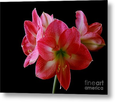 Amaryllis Metal Print by The Stone Age