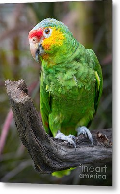 Amazon Parrot Portrait Metal Print by Jamie Pham