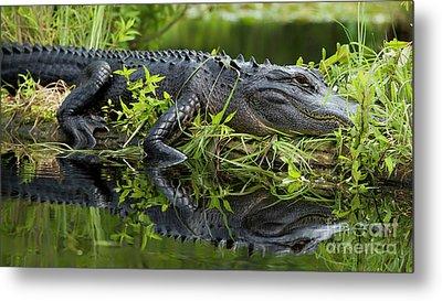 American Alligator In The Wild Metal Print by Dustin K Ryan