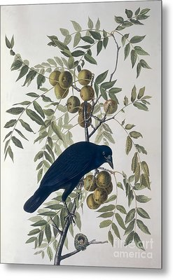 American Crow Metal Print by John James Audubon