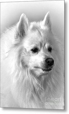 American Eskimo Dog Metal Print by Olivier Le Queinec