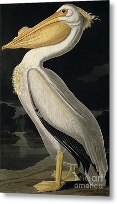American White Pelican Metal Print by John James Audubon