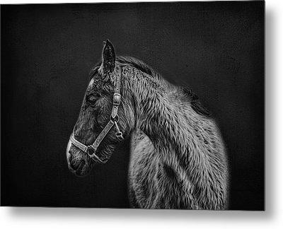 Amish Horse Portrait Metal Print by Shara Lee