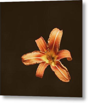 An Orange Lily Metal Print by Scott Norris