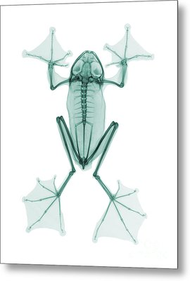 An X-ray Of A Flying Frog Metal Print by Ted Kinsman