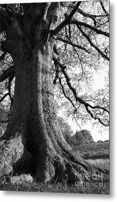 Ancient Oak Metal Print by Thomas R Fletcher