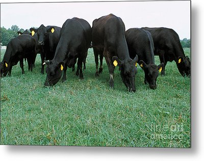 Angus Cattle Metal Print by Science Source