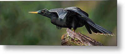 Anhinga Anhinga Anhinga, Costa Rica Metal Print by Panoramic Images