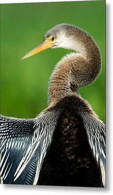 Anhinga Anhinga Anhinga, Pantanal Metal Print by Panoramic Images