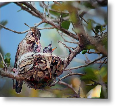 Anna's Hummingbirds Metal Print by Nikolyn McDonald