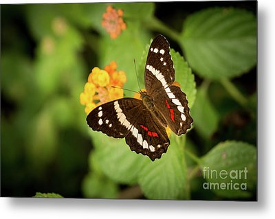 Another Day, Another Butterfly Metal Print by Ana V Ramirez