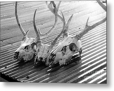 Antlers On Tin Roof Metal Print by Thomas R Fletcher