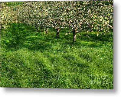 Apple Orchard Metal Print by Sandra Cunningham