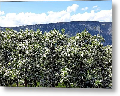Apple Trees In Bloom     Metal Print by Will Borden