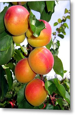 Apricots Metal Print by Will Borden