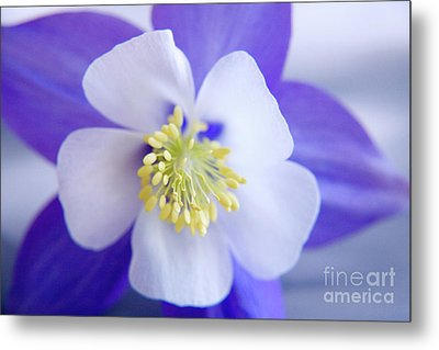 Aquilegia Metal Print by Julia Hiebaum