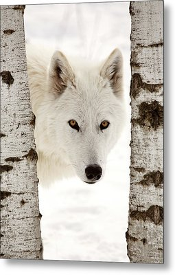 Arctic Wolf Seen Between Two Trees In Winter Metal Print by Mark Duffy
