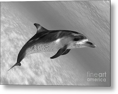Atlantic Spotted Dolphin Metal Print by Dave Fleetham - Printscapes