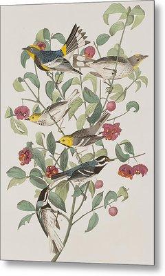 Audubons Warbler Hermit Warbler Black-throated Gray Warbler Metal Print by John James Audubon