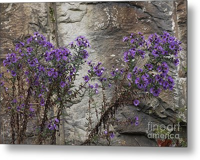 Autumn Asters Metal Print by Randy Bodkins