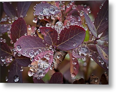 autumn Huckleberry leaves macro in autumn Metal Print by Ed Book