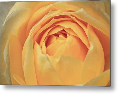 Awakening Yellow Bare Root Rose Metal Print by Ryan Kelly