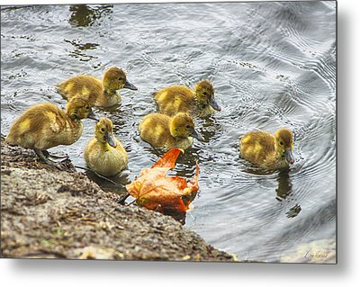 Baby Ducks And Autumn Leaf Metal Print by Diana Haronis