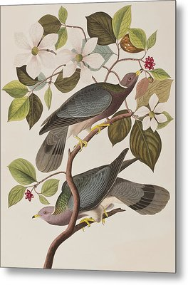 Band-tailed Pigeon  Metal Print by John James Audubon